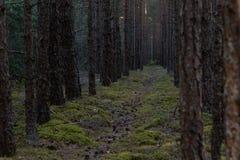 Bosweg tussen pijnboombomen stock afbeeldingen