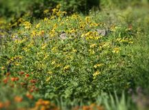 Bosweide met gele bloemenschoften Royalty-vrije Stock Afbeelding