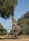 Boswell stands. African Elephant bull (Loxodonta africana) standing on his back legs Stock Photography