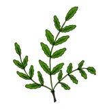 Boswellia in color. Indian Frankincense Salai or Boswellia serrata vintage illustration.Olibanum-tree Boswellia sacra, aromatic tree. Ink hand drawn herbal Stock Photo