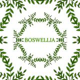 Boswellia in color, LM 16-4. Indian Frankincense Salai or Boswellia serrata vintage illustration. Round frame, decorative border.Olibanum-tree Boswellia sacra Royalty Free Stock Images