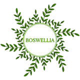 Boswellia in color, round frame 1. Indian Frankincense Salai or Boswellia serrata vintage illustration, round frame.Olibanum-tree Boswellia sacra, aromatic tree Royalty Free Stock Image
