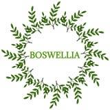 Boswellia in color, round frame 2. Indian Frankincense Salai or Boswellia serrata vintage illustration, round frame.Olibanum-tree Boswellia sacra, aromatic tree Royalty Free Stock Photo