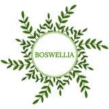Boswellia na cor, quadro redondo 1 Imagem de Stock Royalty Free