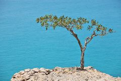 Boswellia tree (Frankincense tree). With turquoise sea water background at Socotra island Stock Photo