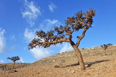 Boswellia tree (Frankincense tree). In the Socotra Island, Yemen royalty free stock images