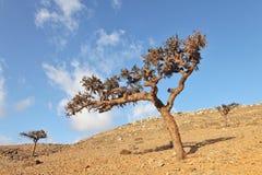Boswellia tree (Frankincense tree) Stock Photo