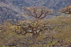 Boswellia tree (Frankincense tree) Royalty Free Stock Image