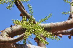 Boswellia tree (Frankincense tree) Royalty Free Stock Image