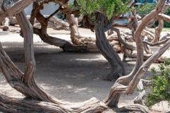 Boswortels van verdraaide bomen, de V.S., Coronado, San Diego, Californië stock foto's