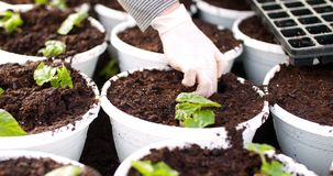 Botánico de sexo masculino que planta árboles jóvenes en potes metrajes