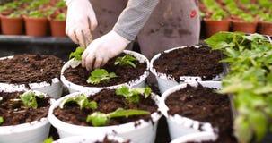Botánico de sexo masculino que planta árboles jóvenes en potes almacen de video