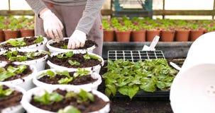 Botánico de sexo masculino que planta árboles jóvenes en potes almacen de metraje de vídeo