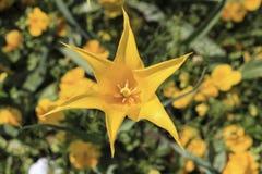 Botão aberto da tulipa do amarelo Imagem de Stock Royalty Free