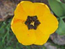 Botão amarelo de uma tulipa Imagens de Stock Royalty Free