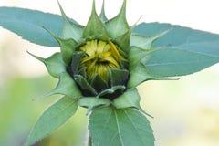 Botão amarelo do girassol do nó de três folhas Imagem de Stock Royalty Free