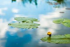 Botão amarelo pequeno do lírio Foto de Stock