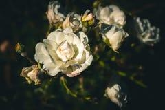 Botão bonito da rosa do branco Fotografia de Stock Royalty Free