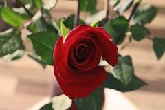 Botão bonito de Rosa vermelha no fundo de Blured imagens de stock