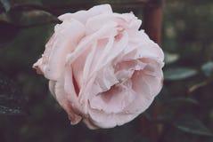 Botão branco da rosa do rosa com gotas da água fotografia de stock
