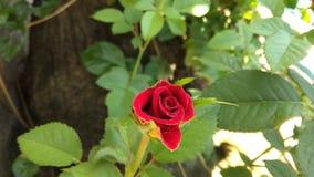 botão cor-de-rosa Fotografia de Stock Royalty Free