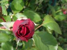 botão cor-de-rosa Foto de Stock Royalty Free