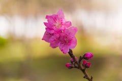 Botão cor-de-rosa da flor e de flor da árvore de pêssego na mola fotos de stock