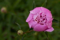 Botão cor-de-rosa da peônia em gotas de orvalho Cópia do espaço Fotos de Stock