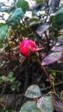 Botão cor-de-rosa pequeno fotografia de stock