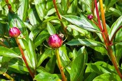 Botão da abelha e de flor Fotos de Stock Royalty Free
