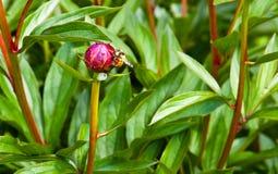 Botão da abelha e de flor Imagem de Stock Royalty Free