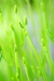 Botão da alfazema Foto de Stock