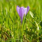 Botão da flor bonita macia no sol do verão, flor do açafrão roxo Imagem de Stock