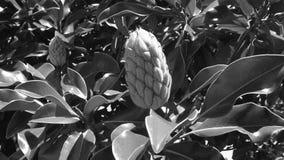 Botão da magnólia em preto e branco Fotos de Stock Royalty Free