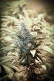 Botão da marijuana do cannabis Fotografia de Stock