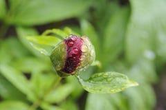 Botão da peônia com os pingos de chuva no jardim Fotos de Stock Royalty Free