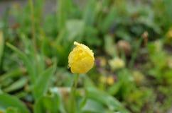 Botão da tulipa amarela no jardim Imagem de Stock