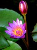 Botão de florescência Fotos de Stock Royalty Free