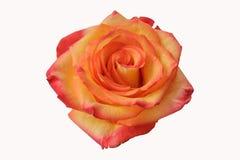 Botão de florescência da rosa amarelo-vermelha em um fundo branco foto de stock royalty free