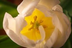 Botão de florescência da tulipa branca, vista para dentro no pilão Fotos de Stock Royalty Free