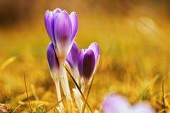 Botão de florescência do açafrão três na iluminação dourada bonita Imagem de Stock