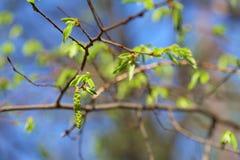 Botão de folha do vidoeiro no fundo do céu azul Foto de Stock