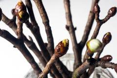 Botão de folha macro do chestnul Foto de Stock