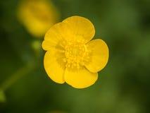 Botão de ouro amarelo Imagem de Stock