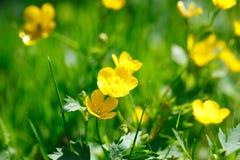 Botão de ouro amarelo na grama verde Imagens de Stock