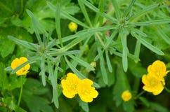 Botão de ouro amarelo no ameadow Fotografia de Stock