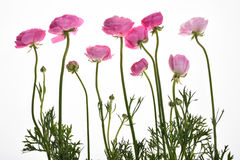 Botão de ouro cor-de-rosa do persa do  de Buttercup〠Foto de Stock