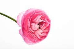 Botão de ouro cor-de-rosa do persa do  de Buttercup〠Fotos de Stock