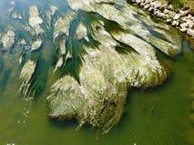 Botão de ouro dos rios na flor no Meuse em Vosges fotografia de stock royalty free