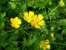 Botão de ouro na flor Imagem de Stock Royalty Free